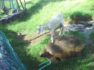 Goat on tortoise back