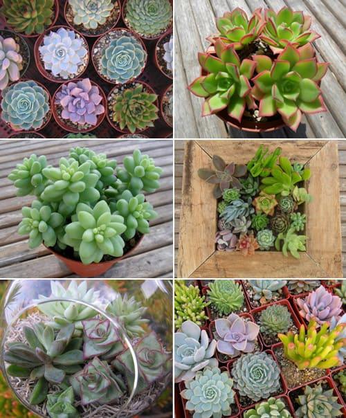 Garden plants succulents
