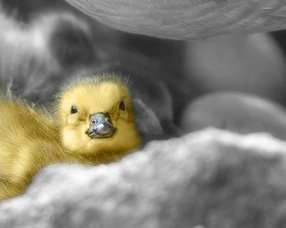 yellow duckling peeping